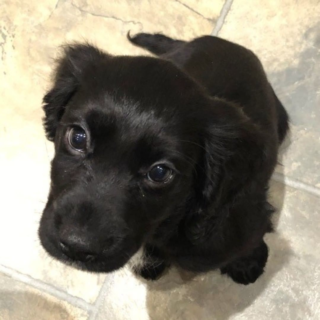 Let's welcome Alfie the Cocker Spaniel to The Combworks 🐶 our manager Sharon has a new member of her family and we couldn't be happier, what a way to start the New Year 😍 ——————————————————————————————— #apartofyourstory #apartofthecombworks #apawofthefamily🐾
